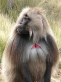 geleda-baboon-male
